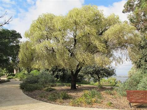 weeping variegated peppermint tree picture of kings park