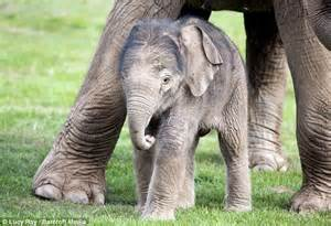 Pregnancy Recorded Live Birth Whipsnade Zoo S Newborn Baby Elephant Is Dwarfed By His In Paddock Daily Mail