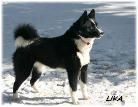 karelian puppy karelian history personality appearance health and pictures