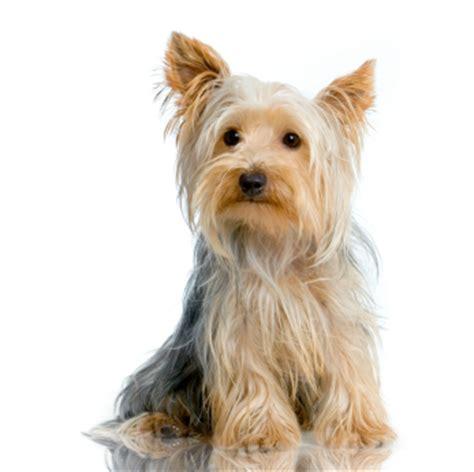 yorkie knee issues terrier