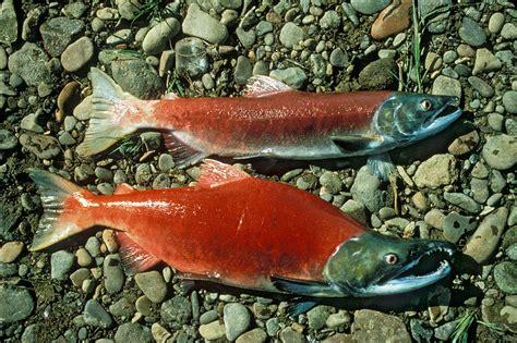 sockeye salmon kokanee oncorhynchus nerka fish