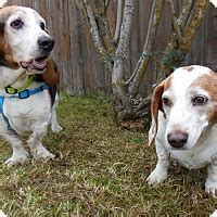puppies for adoption anchorage anchorage ak basset hound meet cooter a for adoption