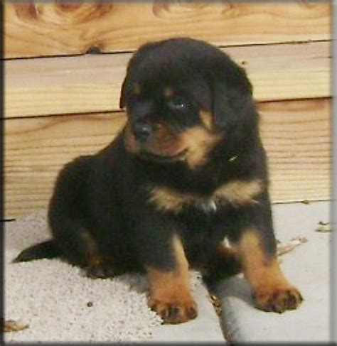 rottweiler kennels in india rottweiler puppies for sale prashant 1 3145 dogs for sale price of puppies