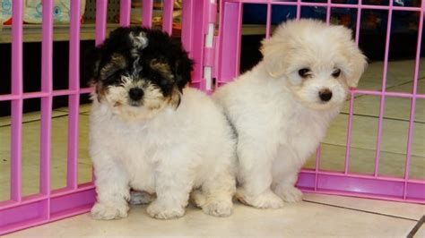 yorkie poo for sale in atlanta ga huggable yorkie poo puppies for sale in atlanta ga at atlanta columbus