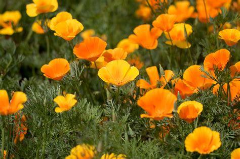 california poppy california poppy seeds greenmylife anyone can garden