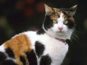 calico cat calico cats pinterest