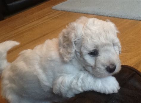 dogs needing homes jackapoo puppies needing homes kendal cumbria pets4homes