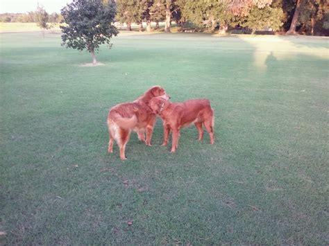 oklahoma golden retriever breeders bojo golden retriever breeder milburn oklahoma