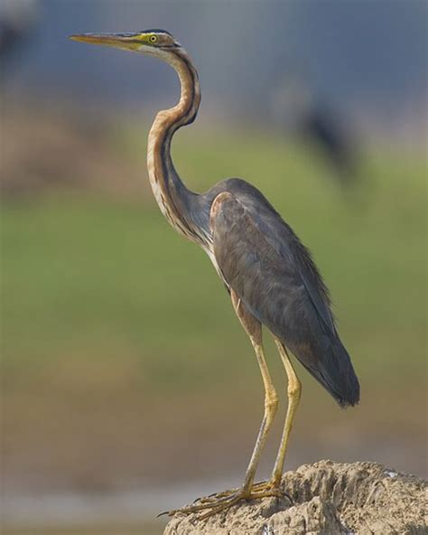 heron meaning heron animal and the partner