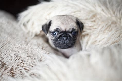 free pugs for sale uk pug puppies for sale uk breeds picture