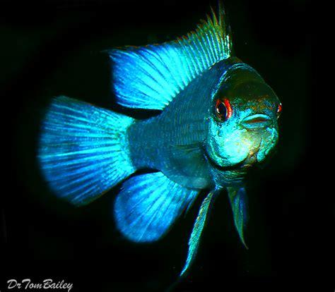ram fish for sale ram fish for sale aquariumfish net