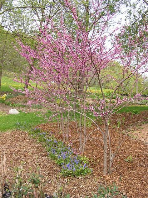 varieties of redbud trees 28 images cercis estabrook s 4 fantastic flowering redbud trees