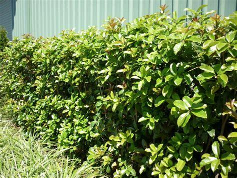 osmanthus fragrans warners nurseries