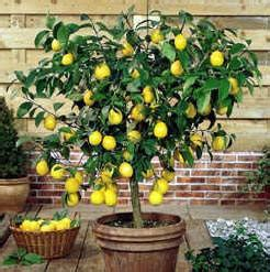 Meyer Lemon Patio Tree by Lemon Tree Very Pretty And The Flower So Sweet
