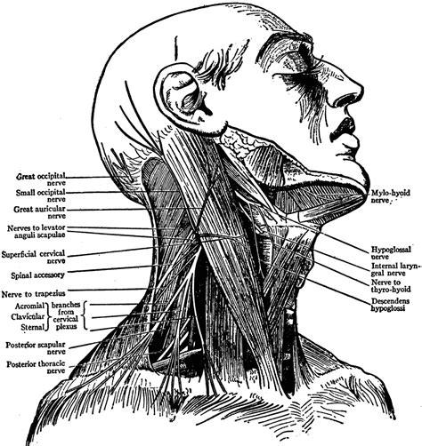 diagram of nerves in neck neck nerves of clipart etc