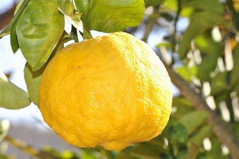 Comment Avoir Des Citrons Sur Un Citronnier by Yuzu Citrus Junos Citron Du Japon Plantation Culture