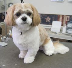 how to cut hair on a shihpoo 1000 images about shih poo dogs on pinterest shih poo