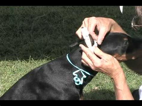 ear taping doberman ella at 6 months funnydog tv