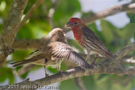 house finch food baby house finches catandturtle