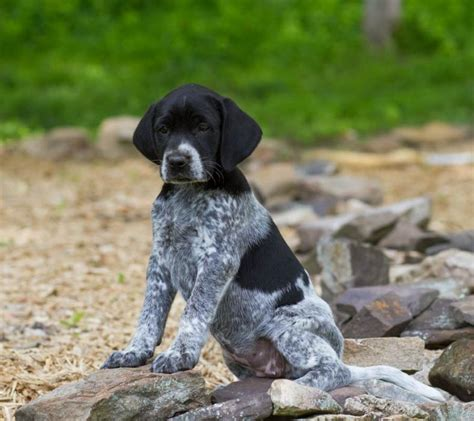 german shorthaired pointer puppies for sale in ga german shorthaired pointer puppies for sale in breeds picture
