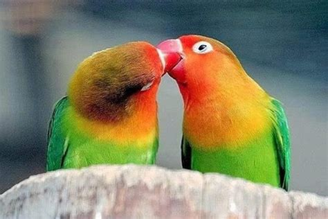 12 Valentine Day by 14 Fun Facts About Love Birds Tail And Fur