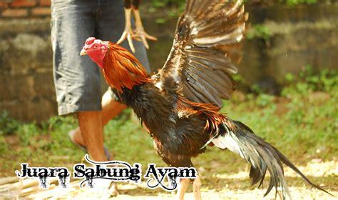 Anakan Ayam Bangkok Lokal lima ciri fisik anakan ayam bangkok yang