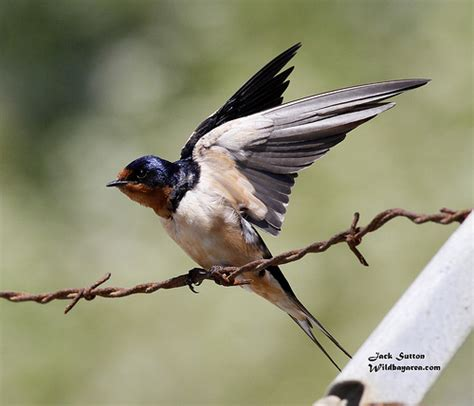 swallow wing google search birds pinterest swallows