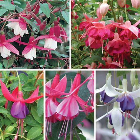 fuchsia hardy bush type plant collection from mr