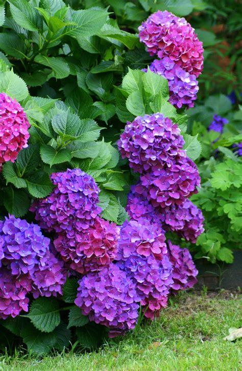 Hortensia Purple a loveliness hyndrangea