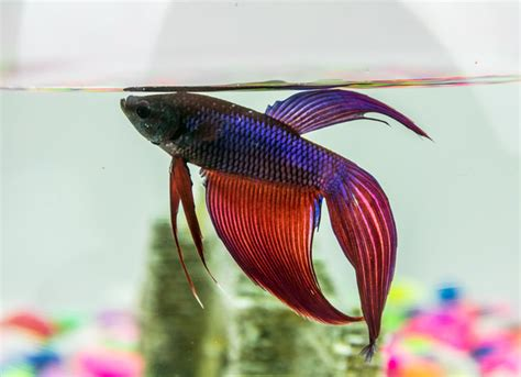 10 Best Images About Beta how to take care of betta fish petmd