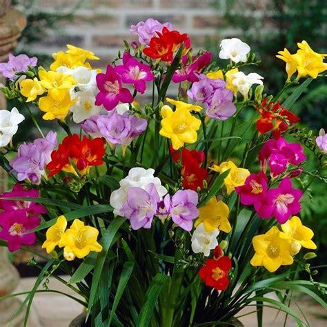 fresie fiori fresia freesia freesia bulbi fresia freesia bulbi