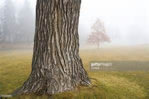 trunk tree oak tree trunk in autumn fog at park stock photo
