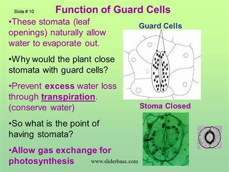 what is the function of the stomata in a leaf the best leaf of 2017