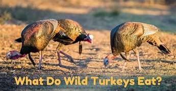 what do wild turkeys eat find out this bird s unique diet