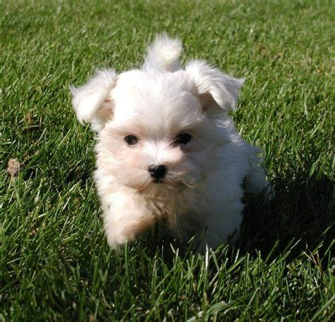 are there white yorkies white teacup yorkie pictures
