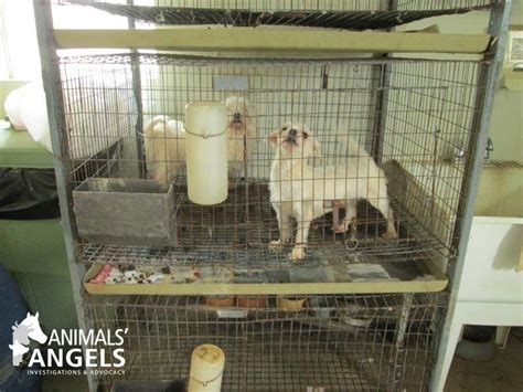 puppy mills in pa pennsylvania puppy mills exposed 4 26 17 animals america