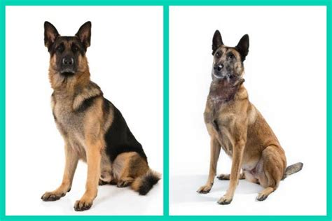 belgian malinois vs german shepherd 6 breed look alikes can you tell which is which american kennel club