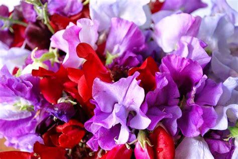 fiore pisello odoroso pisello odoroso piante annuali coltivazione pianta fiore