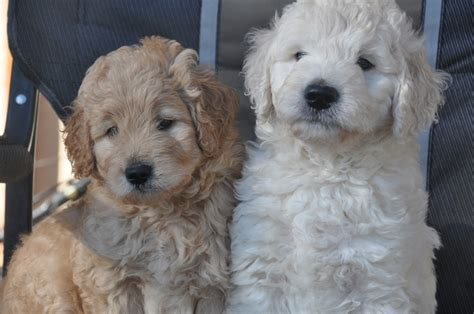 teddy goldendoodle puppies our teddy goldendoodles goldendoodles