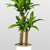 best tall indoor plants best indoor plants brisbane zanzibar gem low light plants