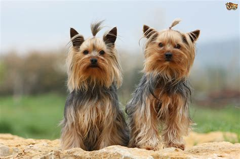 yorkie breed terrier breed information buying advice photos and facts pets4homes