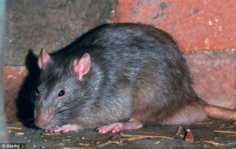 Garden Rodents Types - super rats species the giants rats