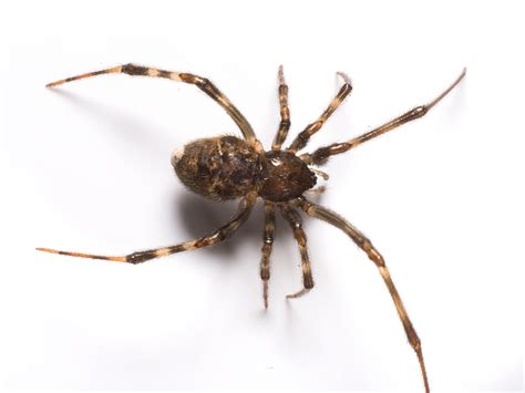 white house spider common house spiders info photos of indoor spiders
