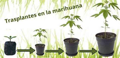 cultivo de marihuana en interior paso a paso los trasplantes en la marihuana paso a paso