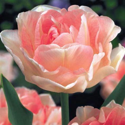 shop angelique tulip at breck s