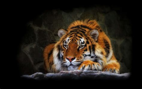 imagenes wallpapers hd animales fondo de pantalla tigre relajante hd