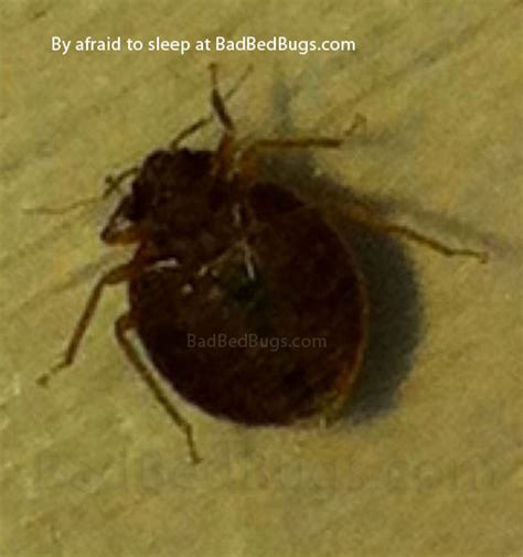 what do bed bug bites feel like what do bed bug bites look like