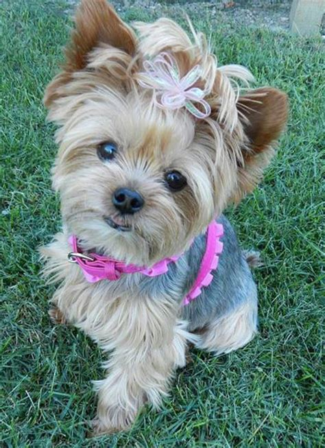 should i get a yorkie is there a fungus among us yorkie splash and shine