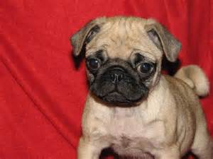 pug puppies for rescue akc pug puppy for adoption lovable friends pintere