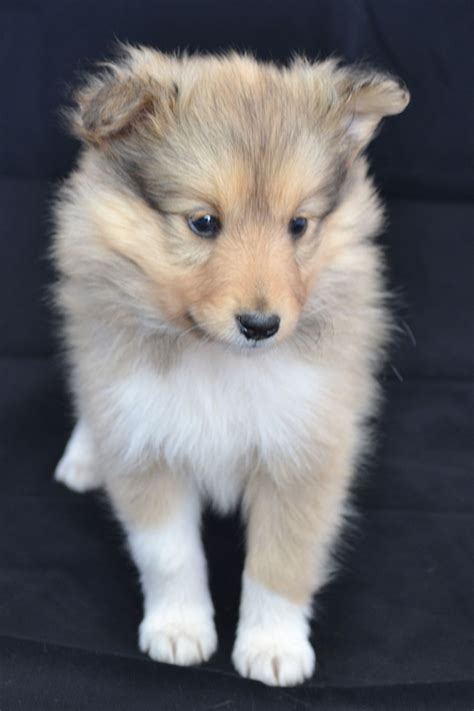 sheltie puppies for sale in florida puppies adelaide breeds picture